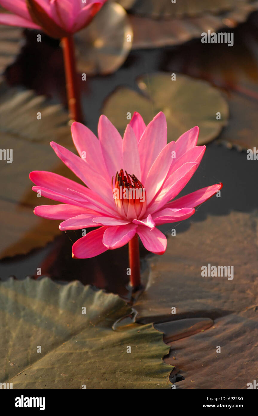The Lotus Or The Water Lily Indian National Flower Gurarat India