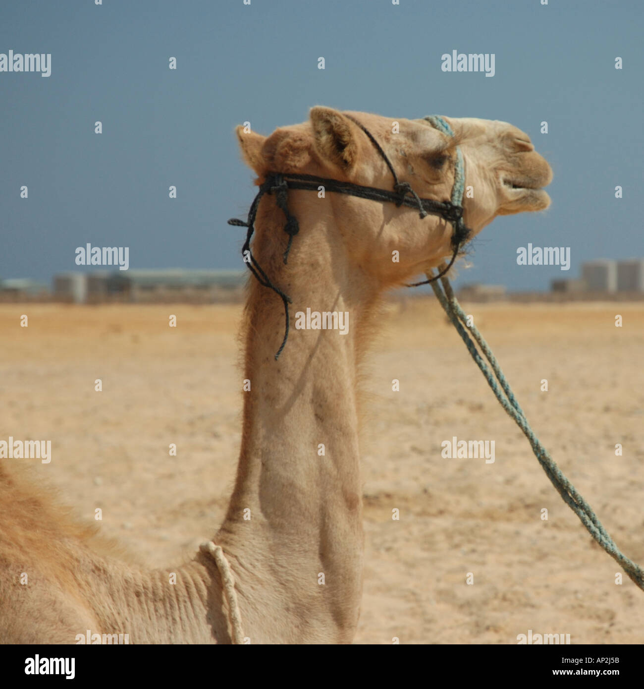 Portrait of a Bedouin's camel tethered on the beach at Nuweiba in Egypt - Stock Image