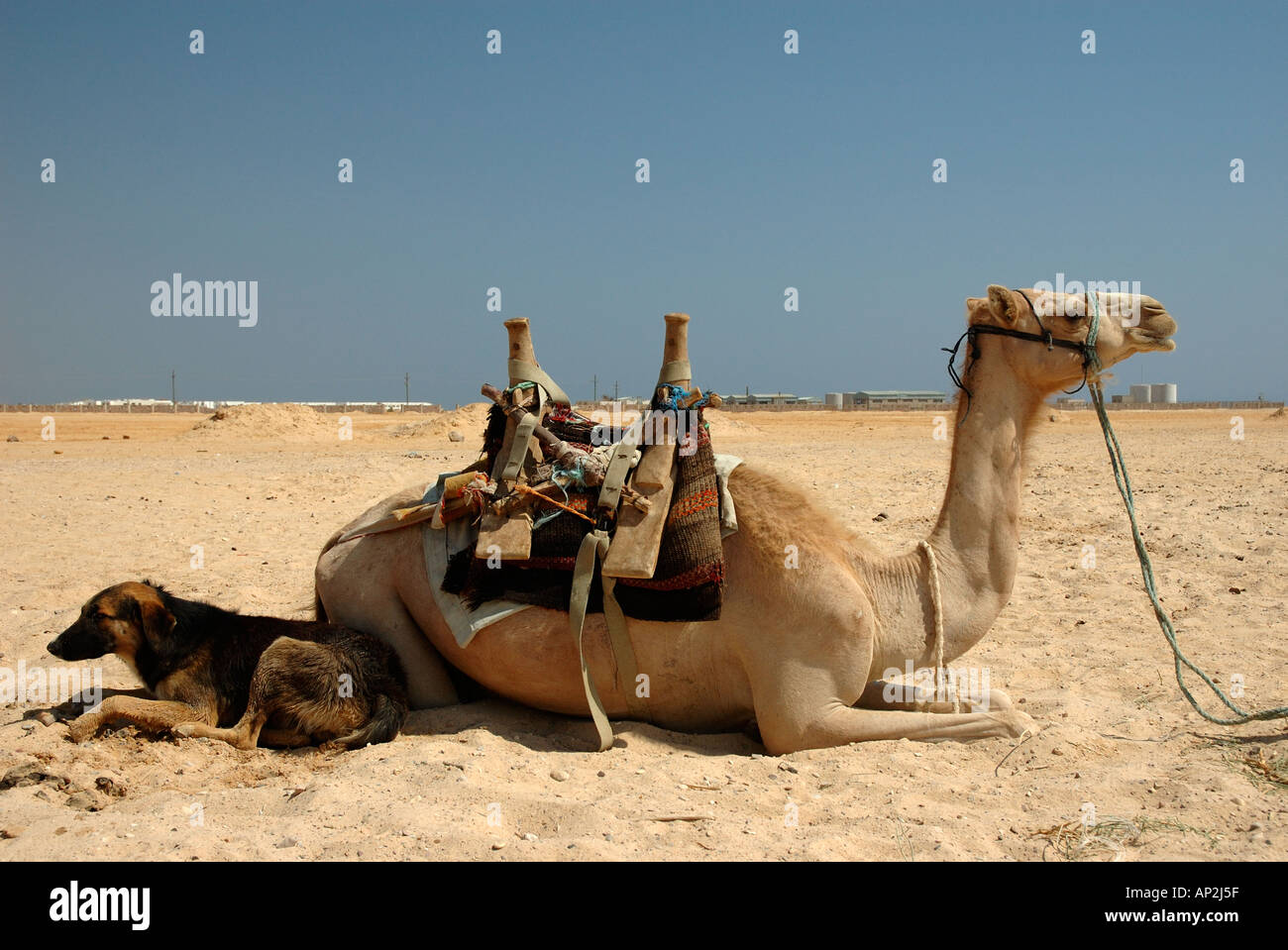 A camel and dog lie together in companionship on the beach at Nuweiba in Egypt - Stock Image