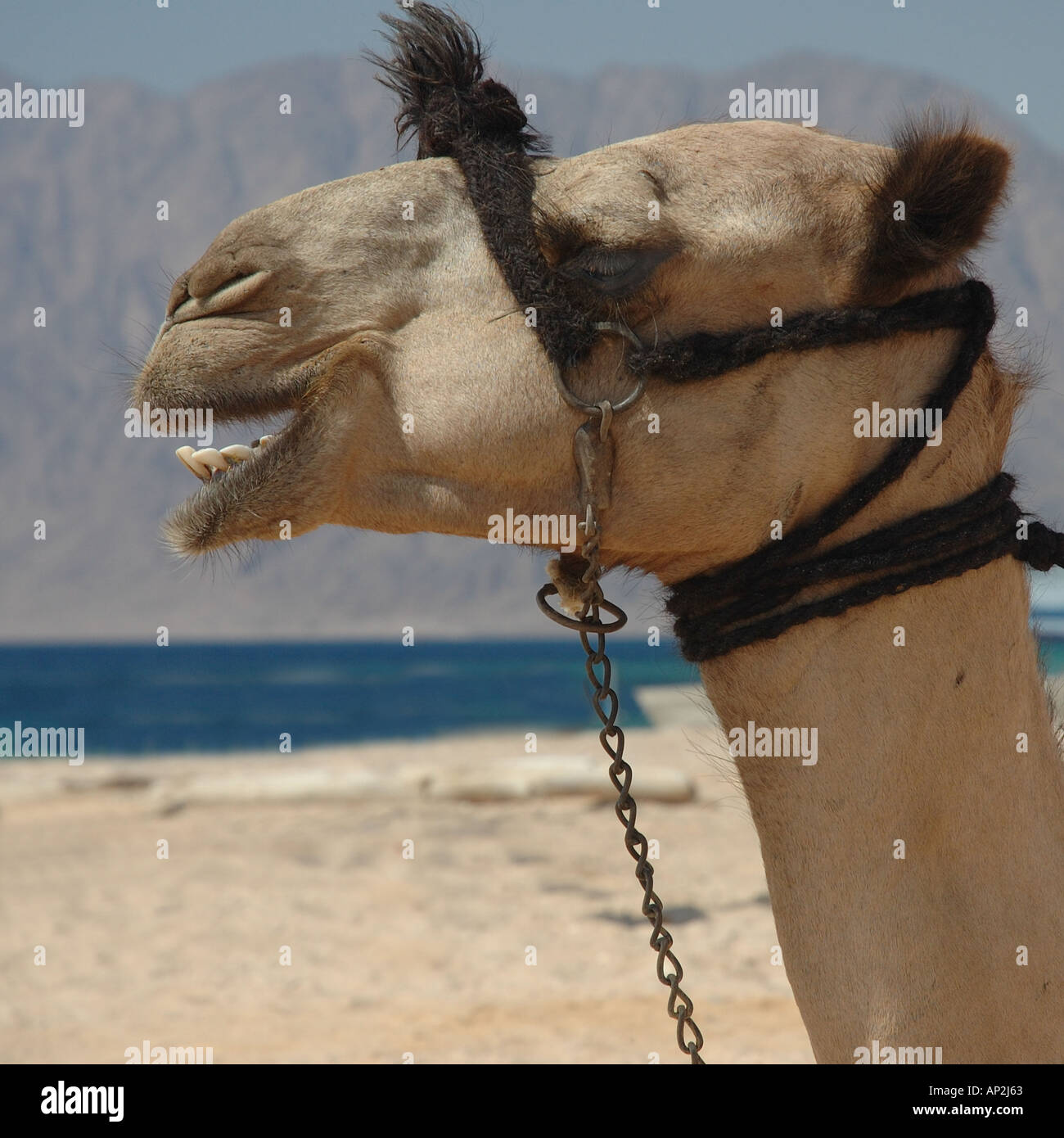Portrait of a Bedouin s camel tethered on the beach at Nuweiba in Egypt Stock Photo