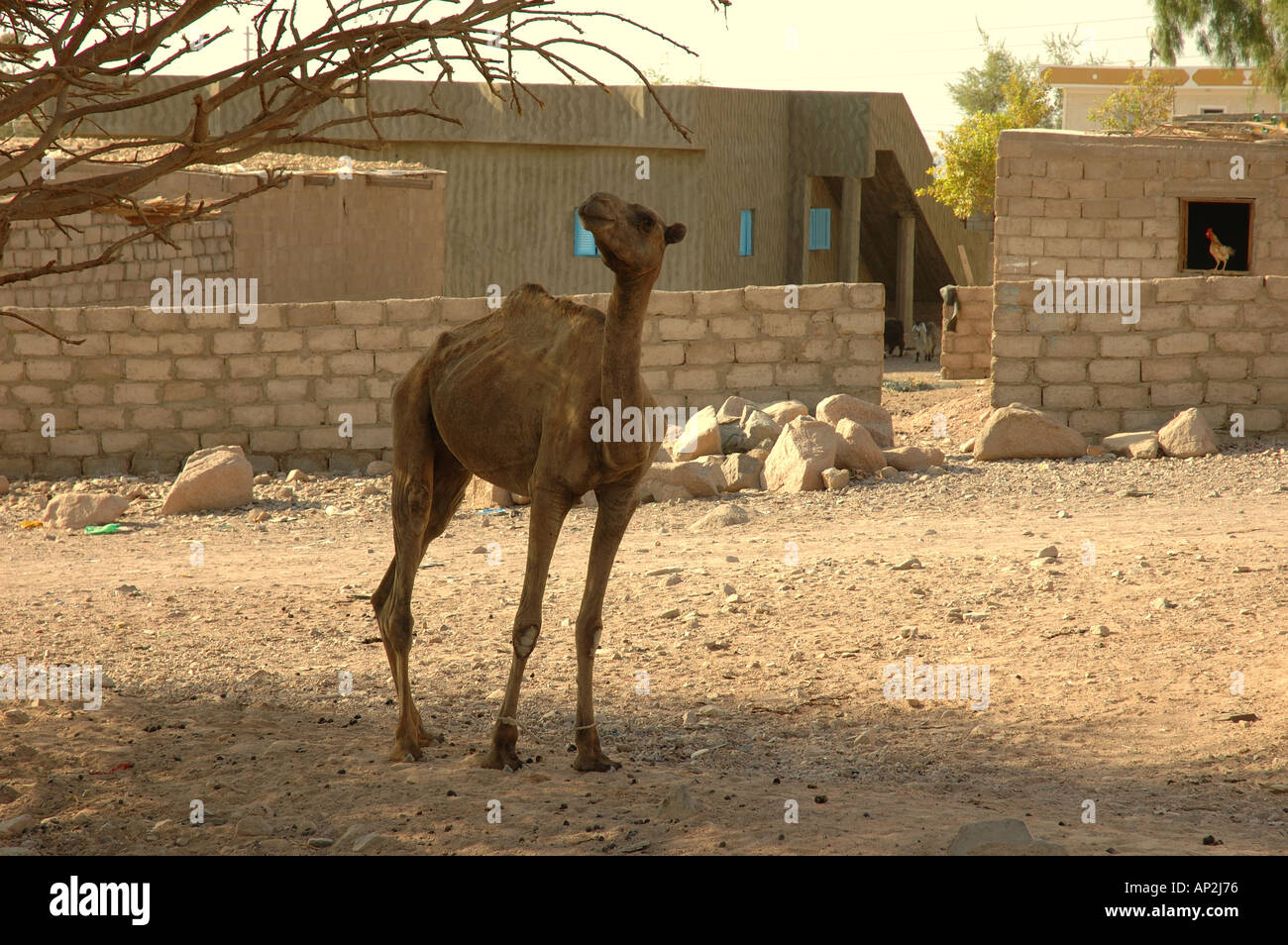 A hobbled malnourished camel trys to reach the leaves of a tree for food at Tarrabin village near Nuweiba in Egypt - Stock Image