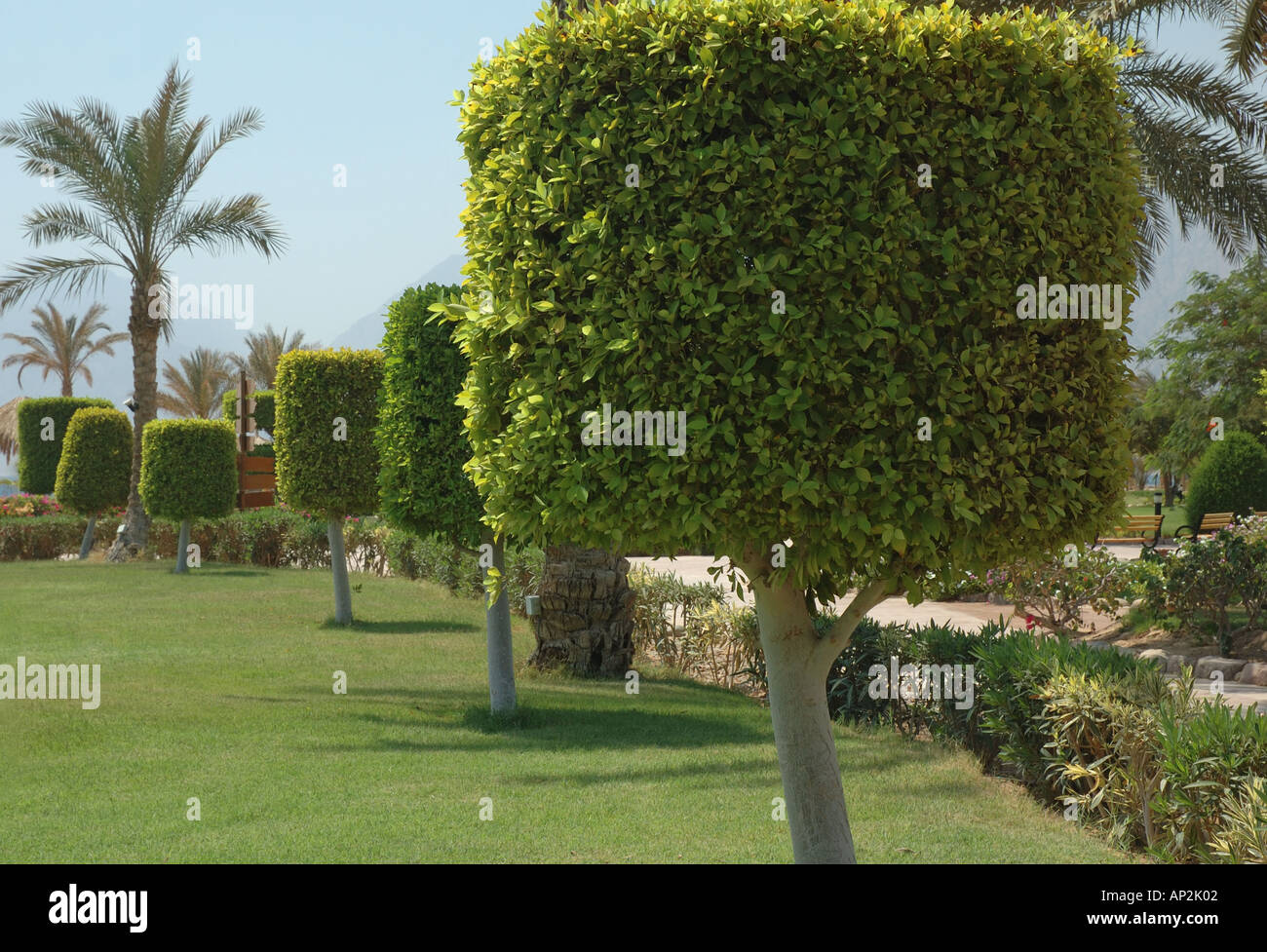 A Row Of Topiary Trees In The Garden At The Hilton Coral Resort
