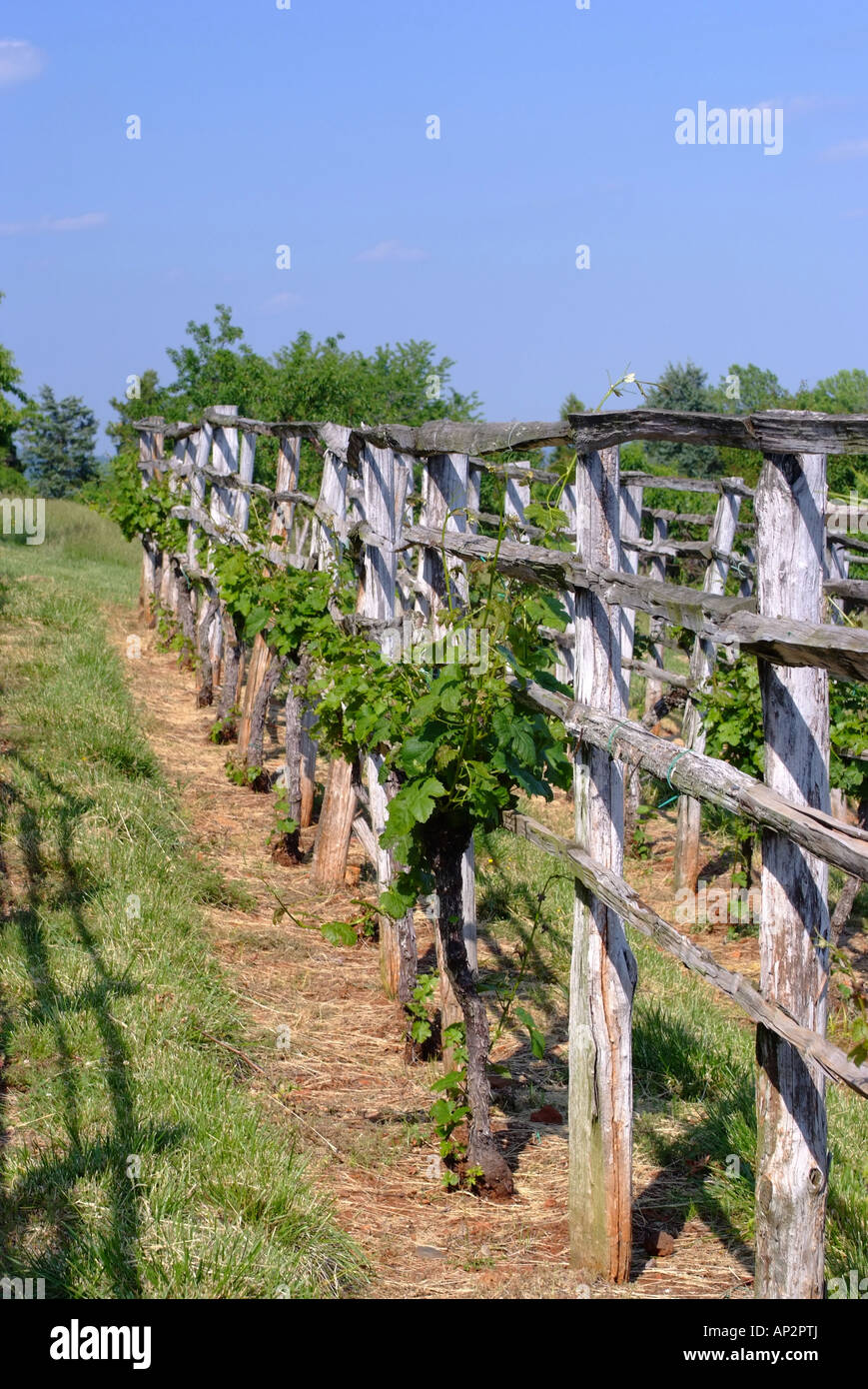 Grape Vines Growing On Trellis In Thomas Jefferson Vegetable Garden At  Monticello Virginia United States America