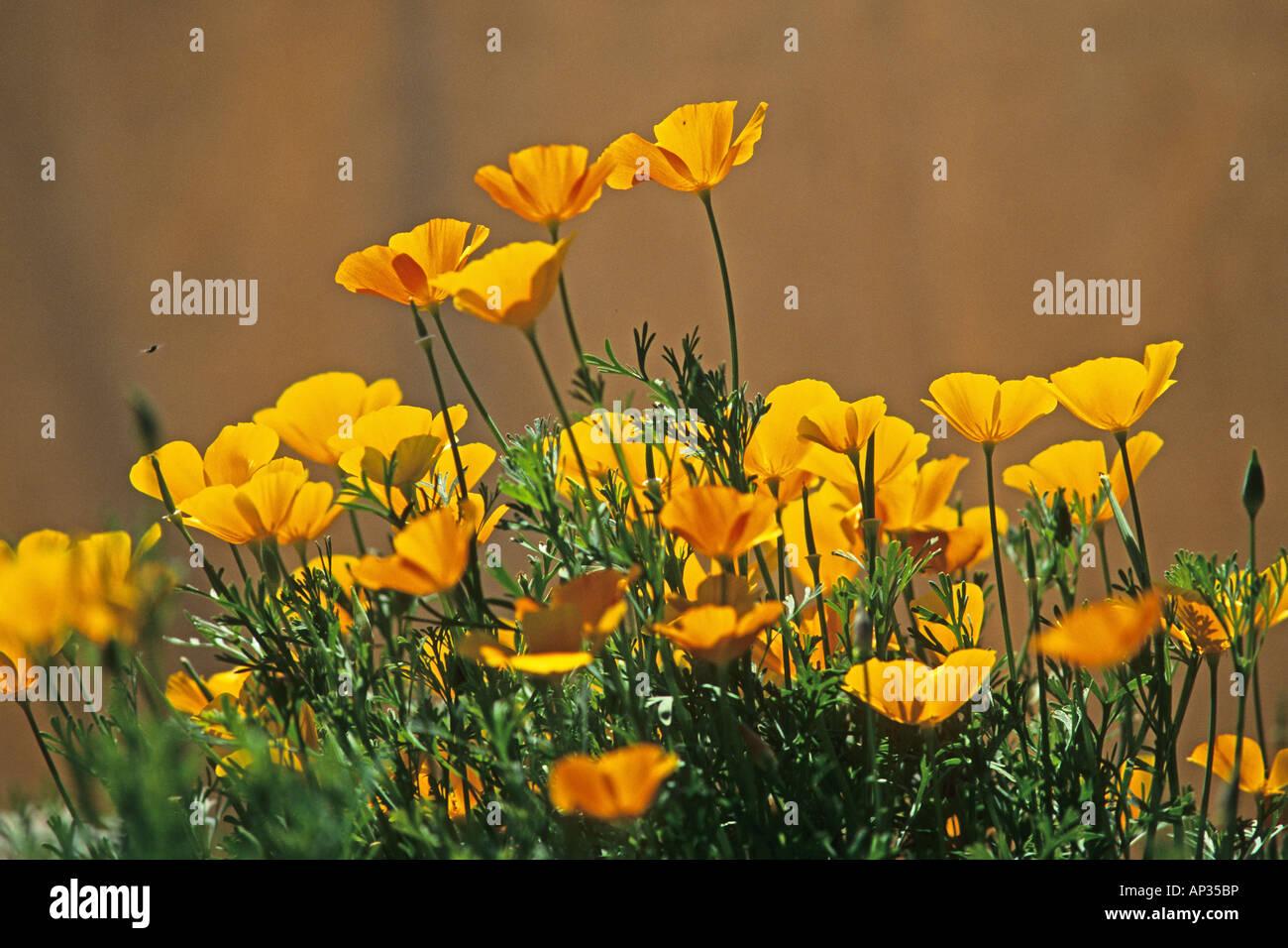 California poppy california state flower stock photo 15659865 alamy california poppy california state flower mightylinksfo