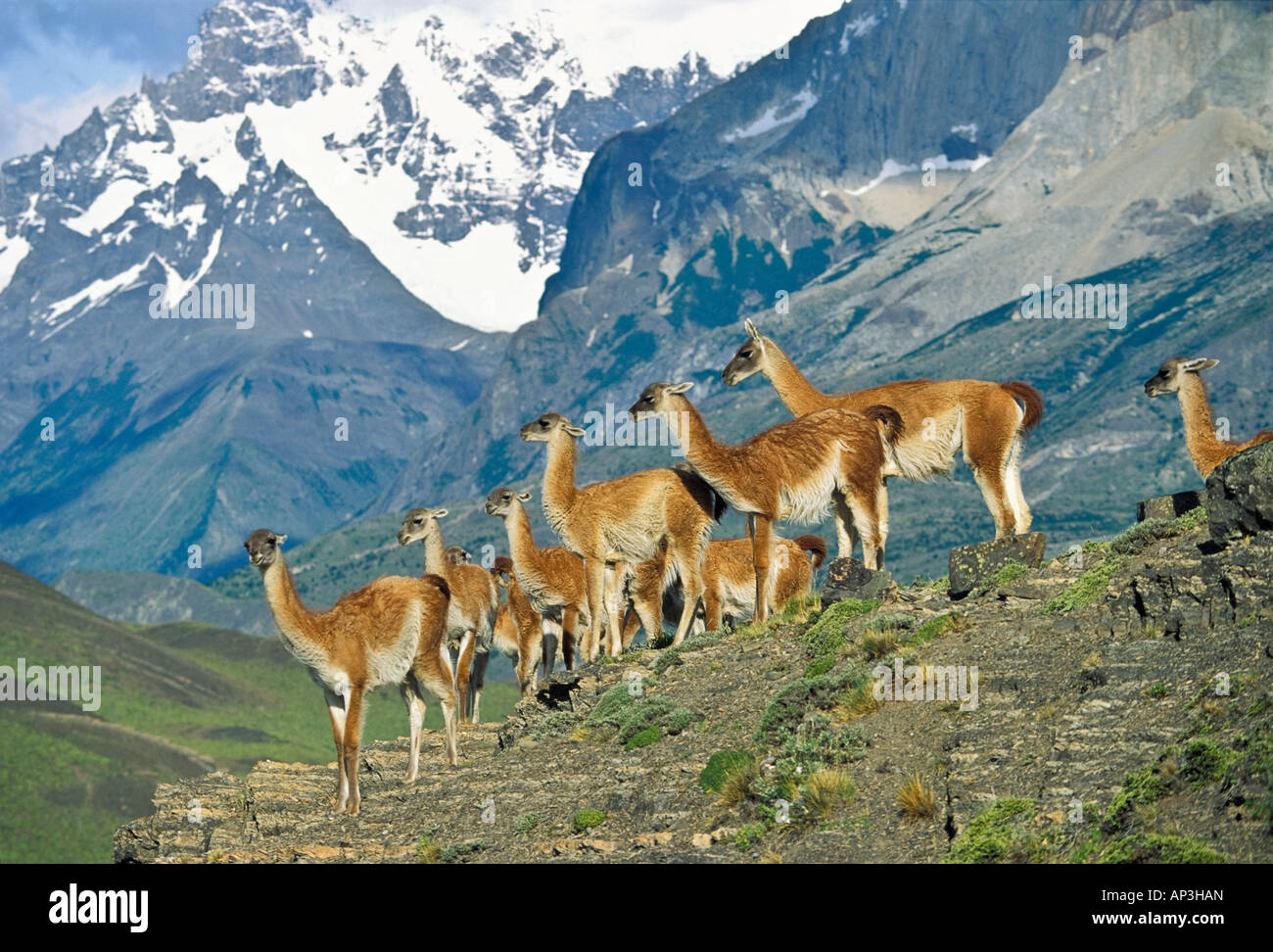Guanacos, Lama guanicoe, Cuernos del Paine, Paine mountains, Torres del Paine Nationalpark, Patagonia, Chile - Stock Image