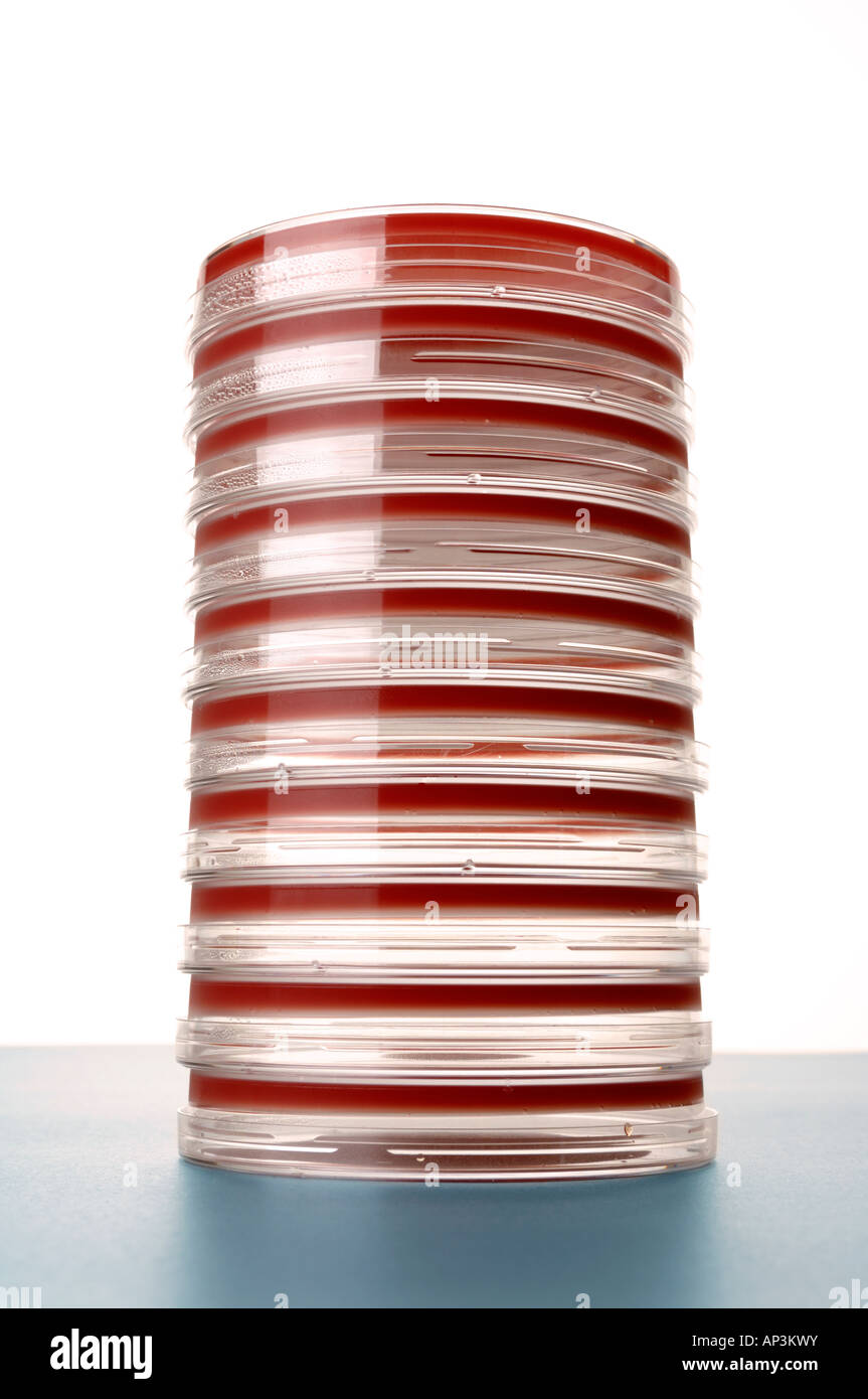 Petri dishes with blood agar - Stock Image