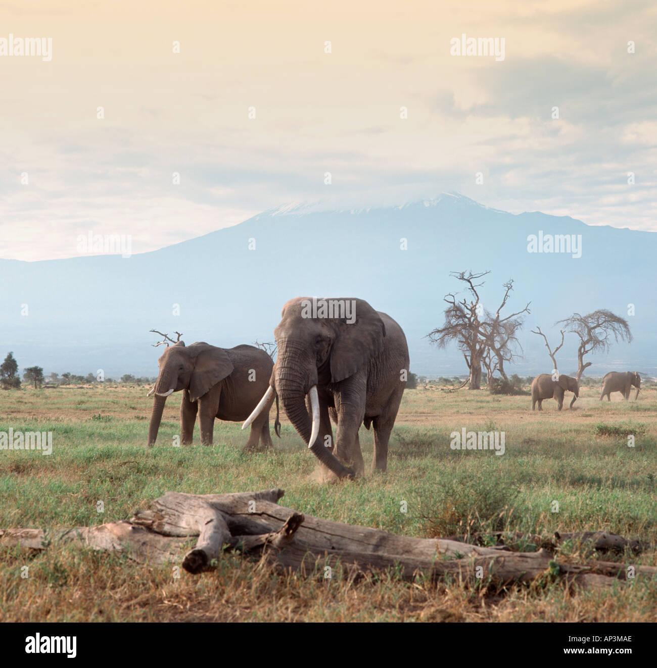 Elephants in front of Mount Kilimanjaro, Amboseli National Park, Kenya, East Africa - Stock Image