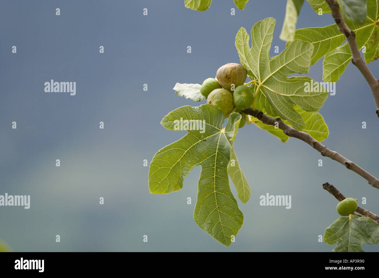 Fig tree branch with fruit - Stock Image