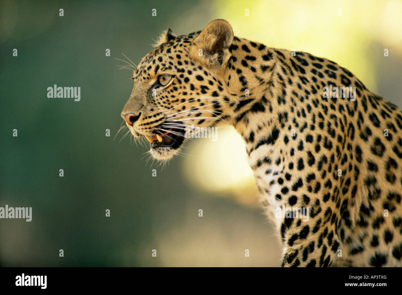 Asian leopard - Stock Image