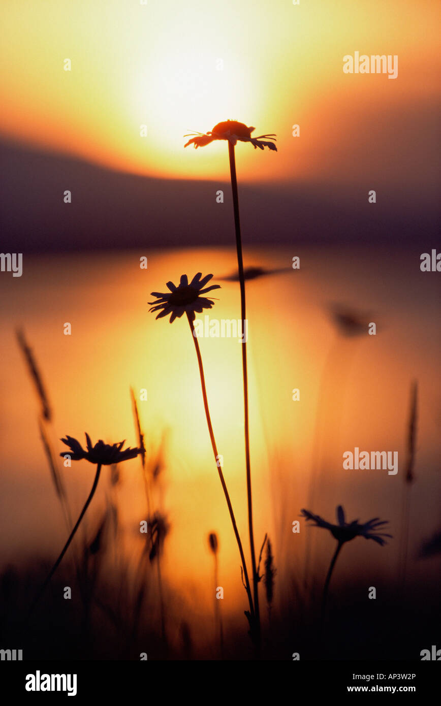 Silhouette of daisies - Stock Image