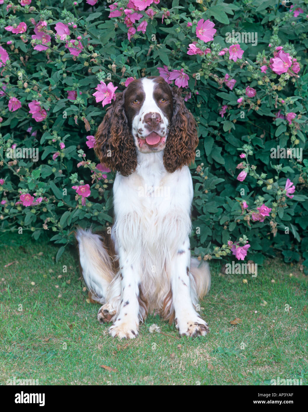 English Springer Spaniel in Garden Setting - Stock Image