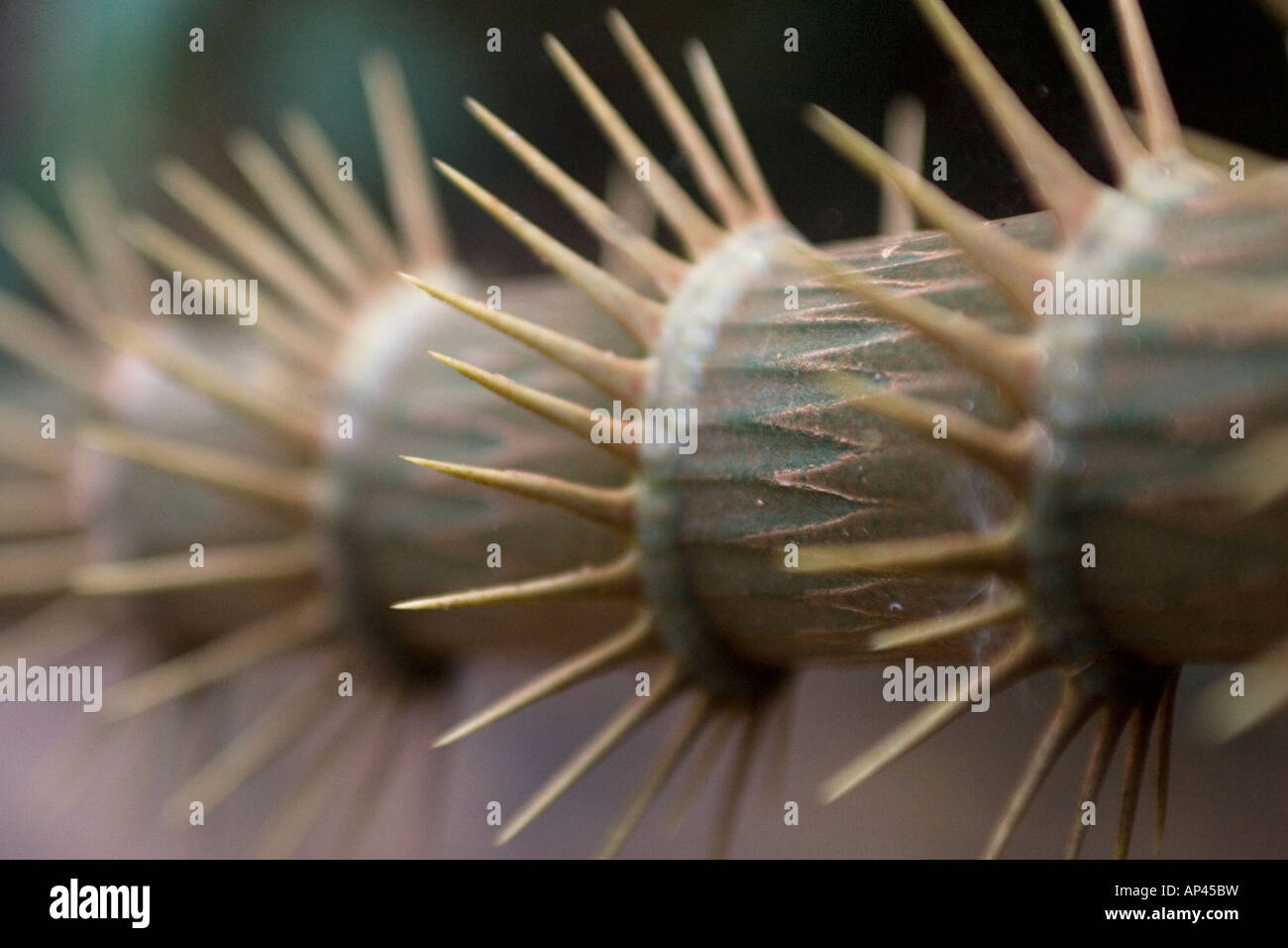 The thorny stem of a plant in the Taman Negara National Park, Malaysia. - Stock Image