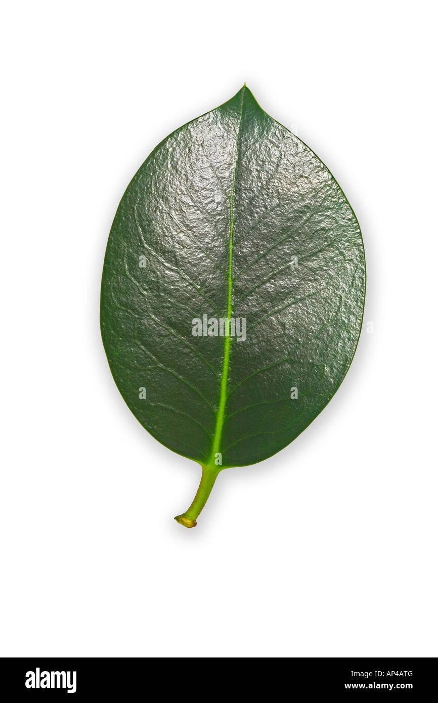 A thornless English Holly leaf (Ilex aquifolium). Feuille de houx commun (Ilex aquifolium), dépourvue de piquants. - Stock Image
