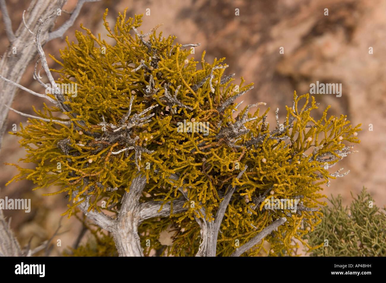 Juniper dwarf mistletoe Arceuthobium divaricatum parasitic on juniper Utah USA - Stock Image