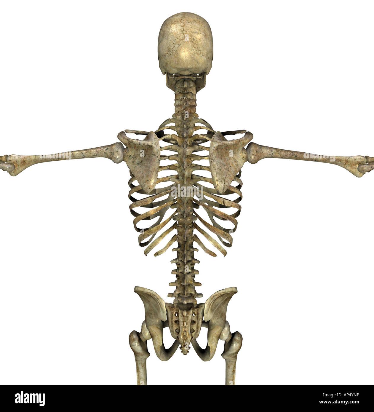 Wirbelknochen Stock Photos & Wirbelknochen Stock Images - Alamy