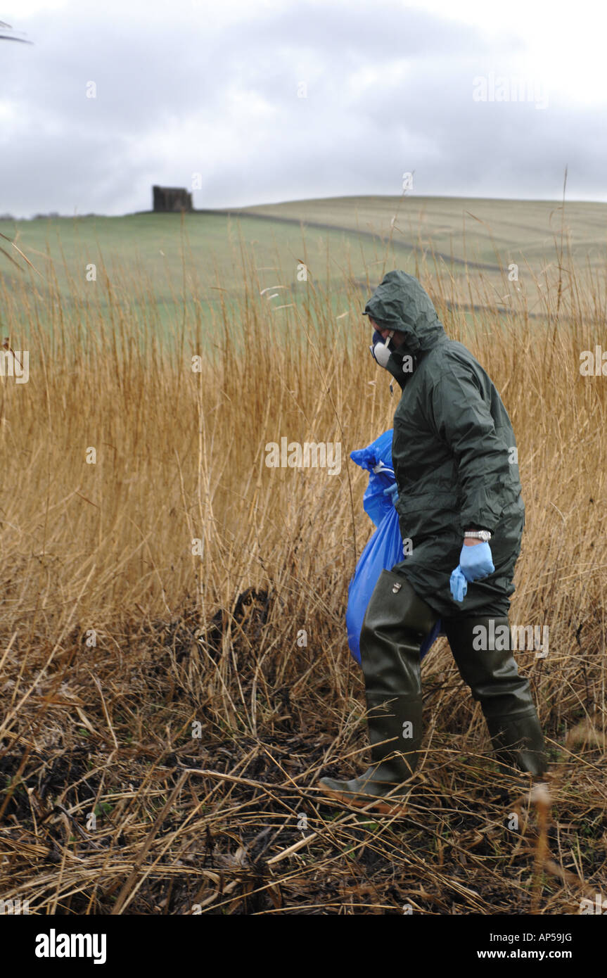 Dead mute swans in bags suspected with H5N1 flue virus at Abbotsbury Swannery Dorset England - Stock Image