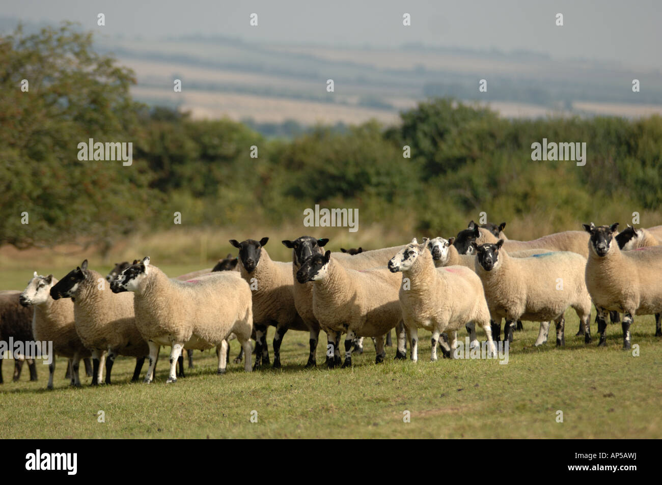 Rough Fell sheep at Martin Down National Nature Reserve Hampshire England - Stock Image