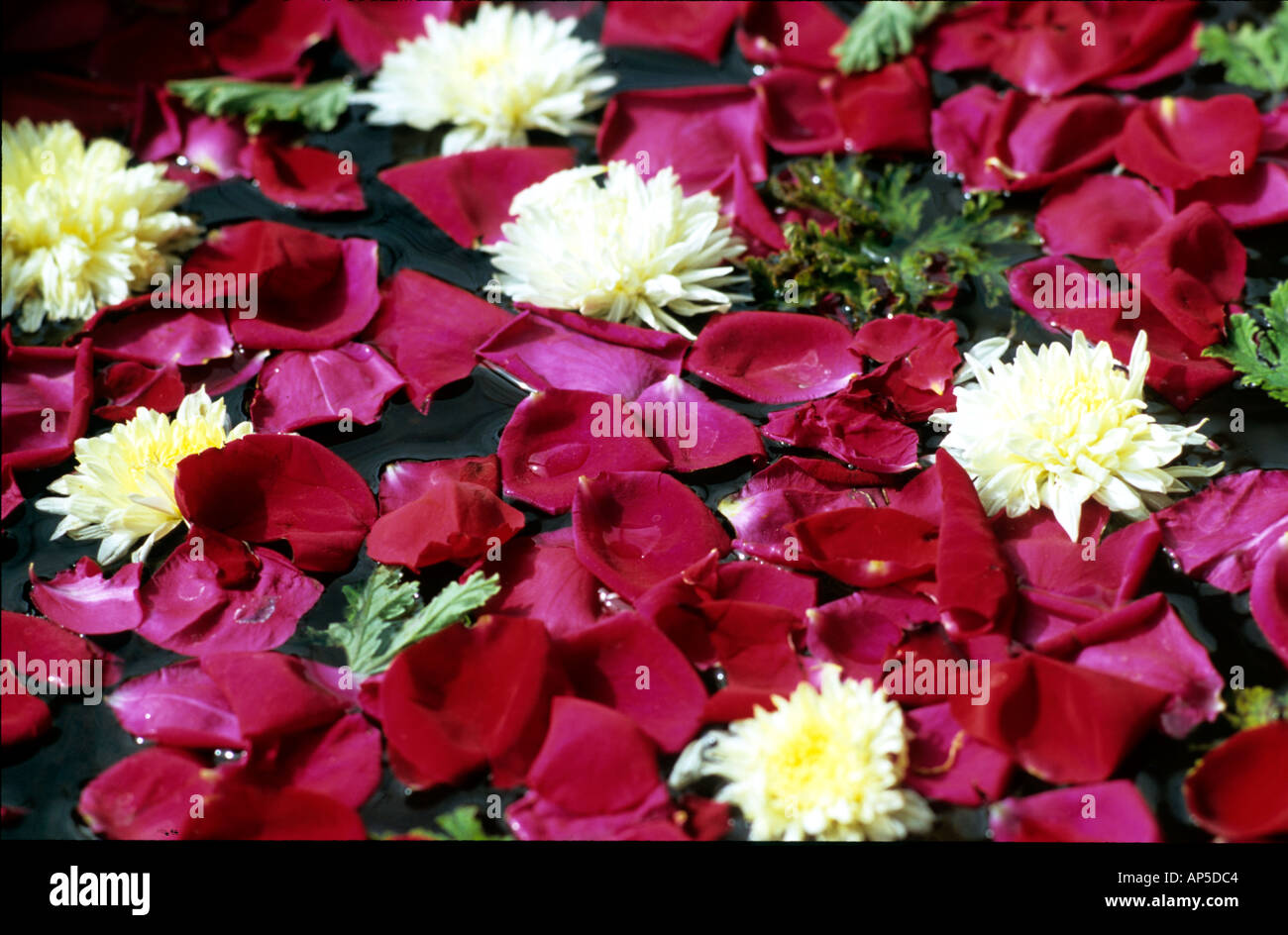 Red And White Flowers Floating In Water India Stock Photo 1465795