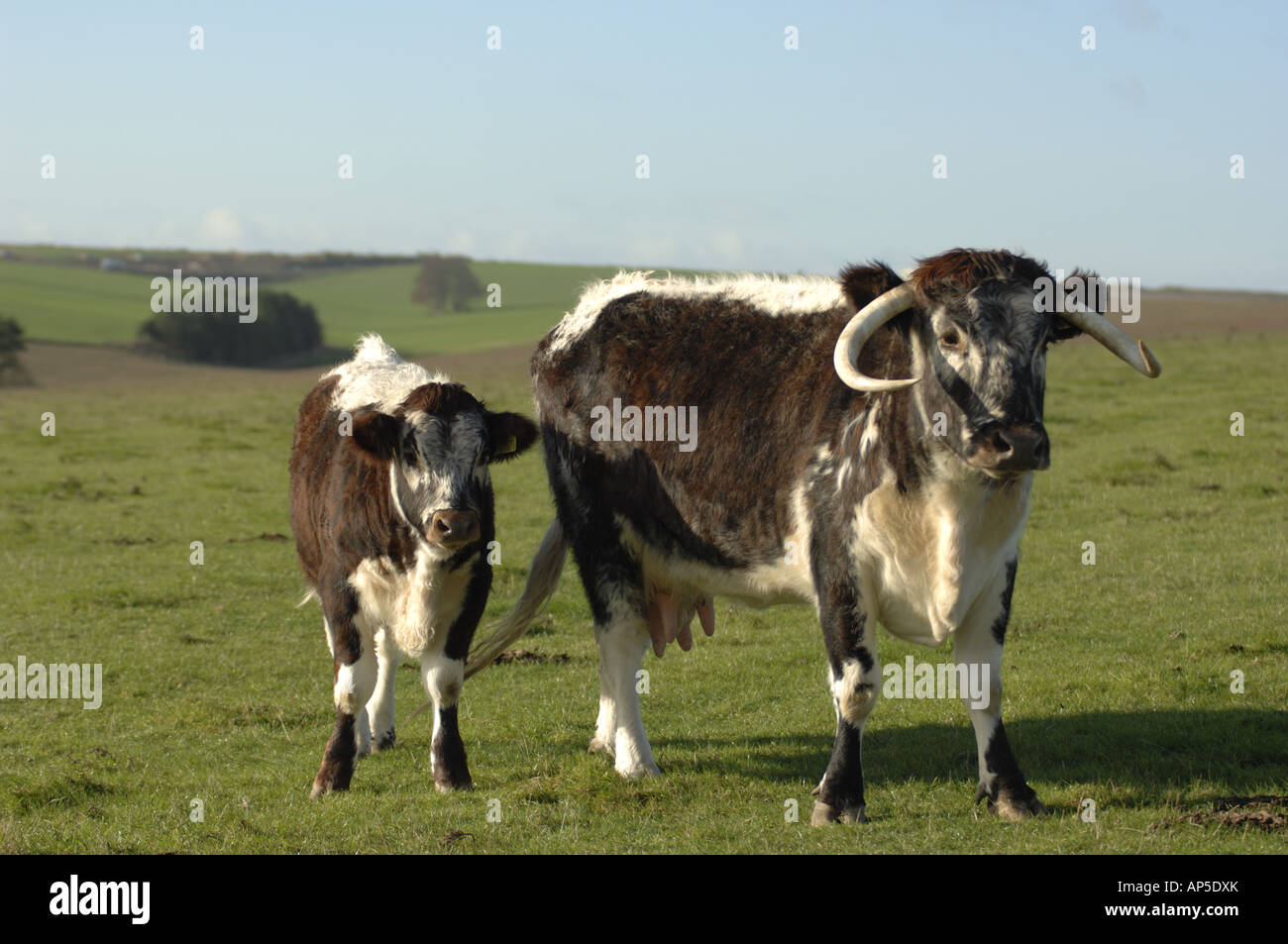 Longhorn Cattle at Parsonage Down National Nature Reserve Wiltshire England - Stock Image
