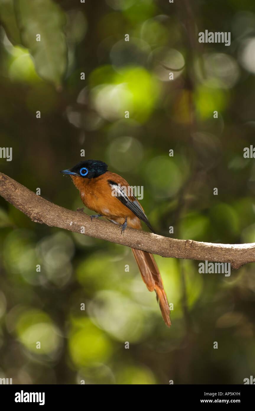 Madagascar paradise flycatcher, Terpsiphone mutata, Ankarana Special Reserve, Madagascar Stock Photo