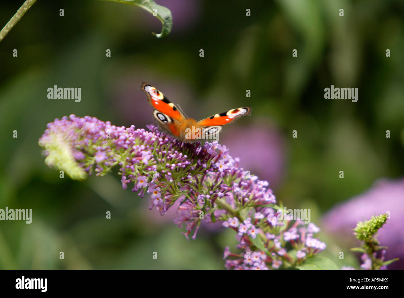 Peacock Butterfly On Buddleia Flower Stock Photo