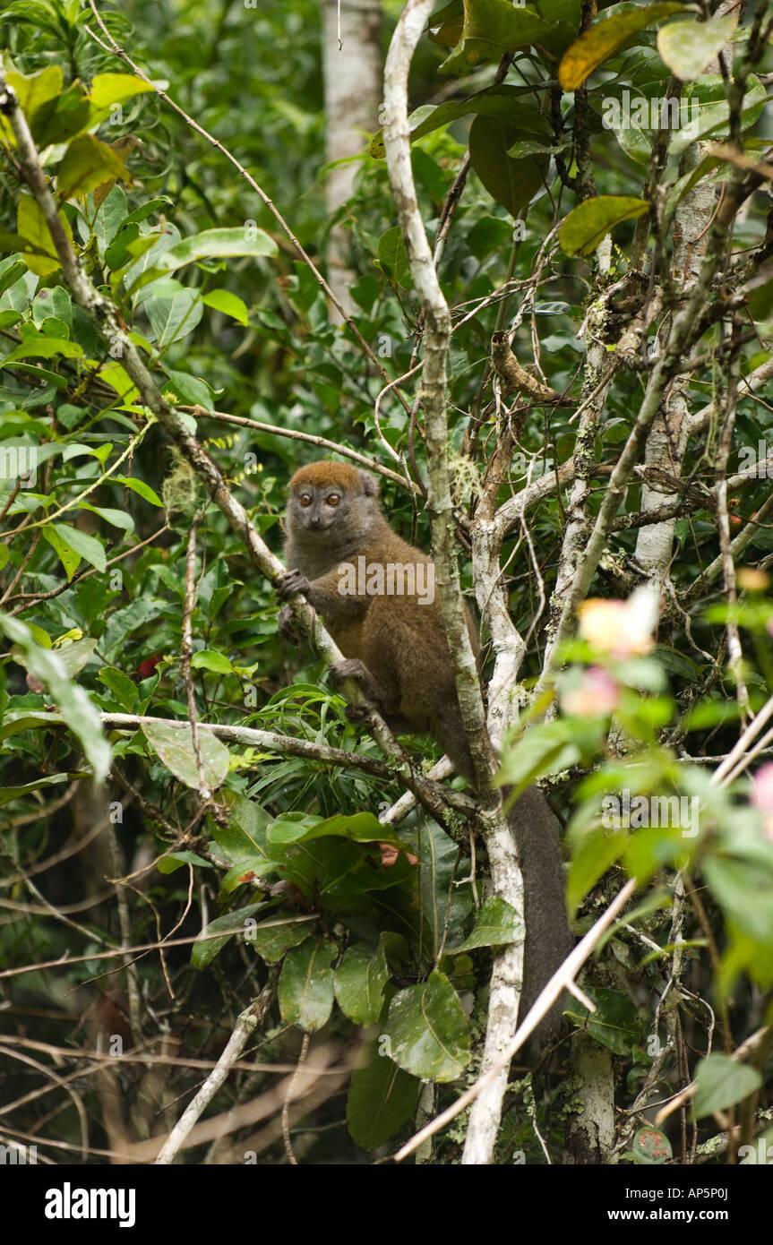Eastern lesser bamboo lemur, Hapalemur griseus, Analamazaotra Special Reserve, Andasibe-Mantadia National Park, - Stock Image