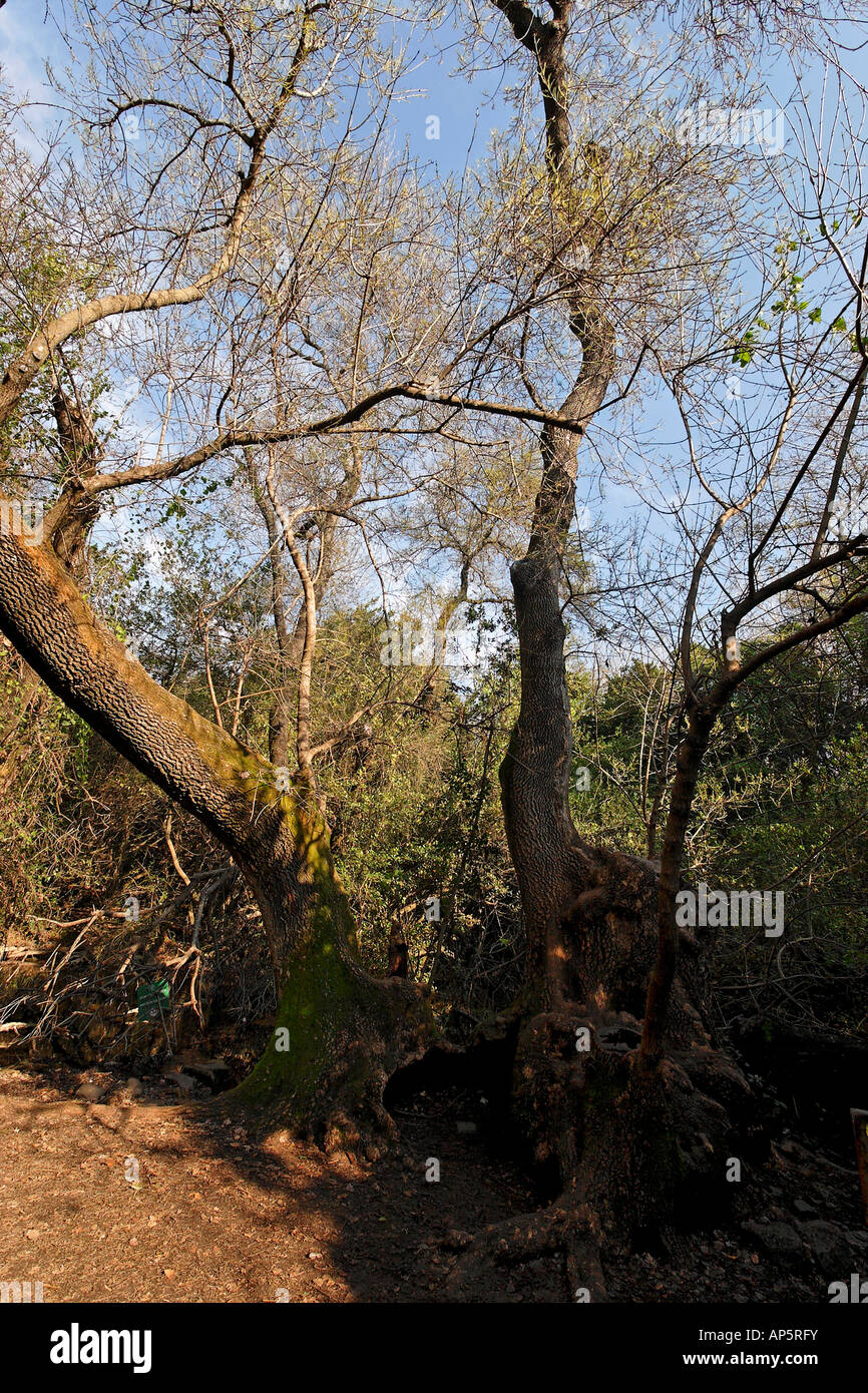Israel the Upper Galilee Syrian Ash tree Fraxinus Syriaca in Tel Dan - Stock Image