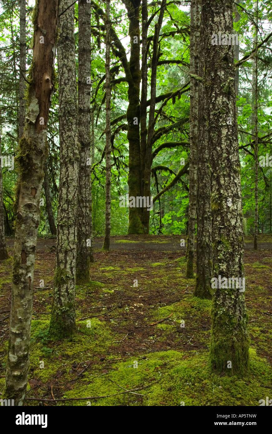 Trees at Englishman River Falls Provincial Park, Vancouver Island, British Columbia, Canada - Stock Image
