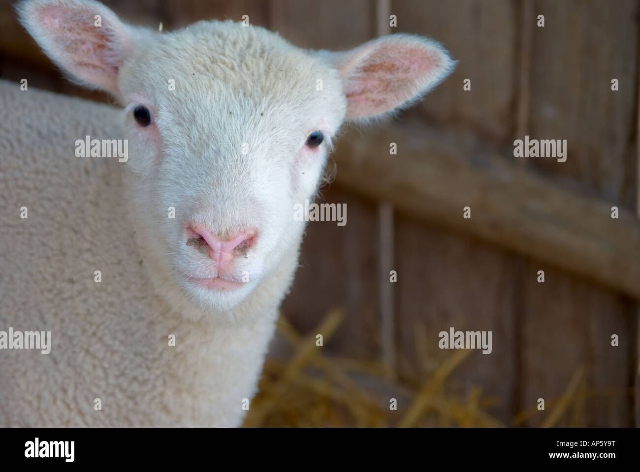 a very cute little baby lamb looks at the camera Stock Photo