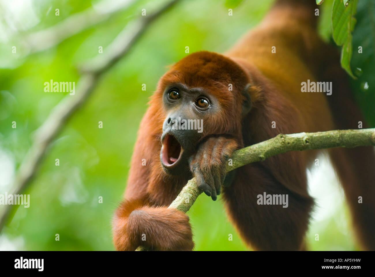 RED HOWLER MONKEY Alouatta seniculus howling Amazon Rainforest - Stock Image