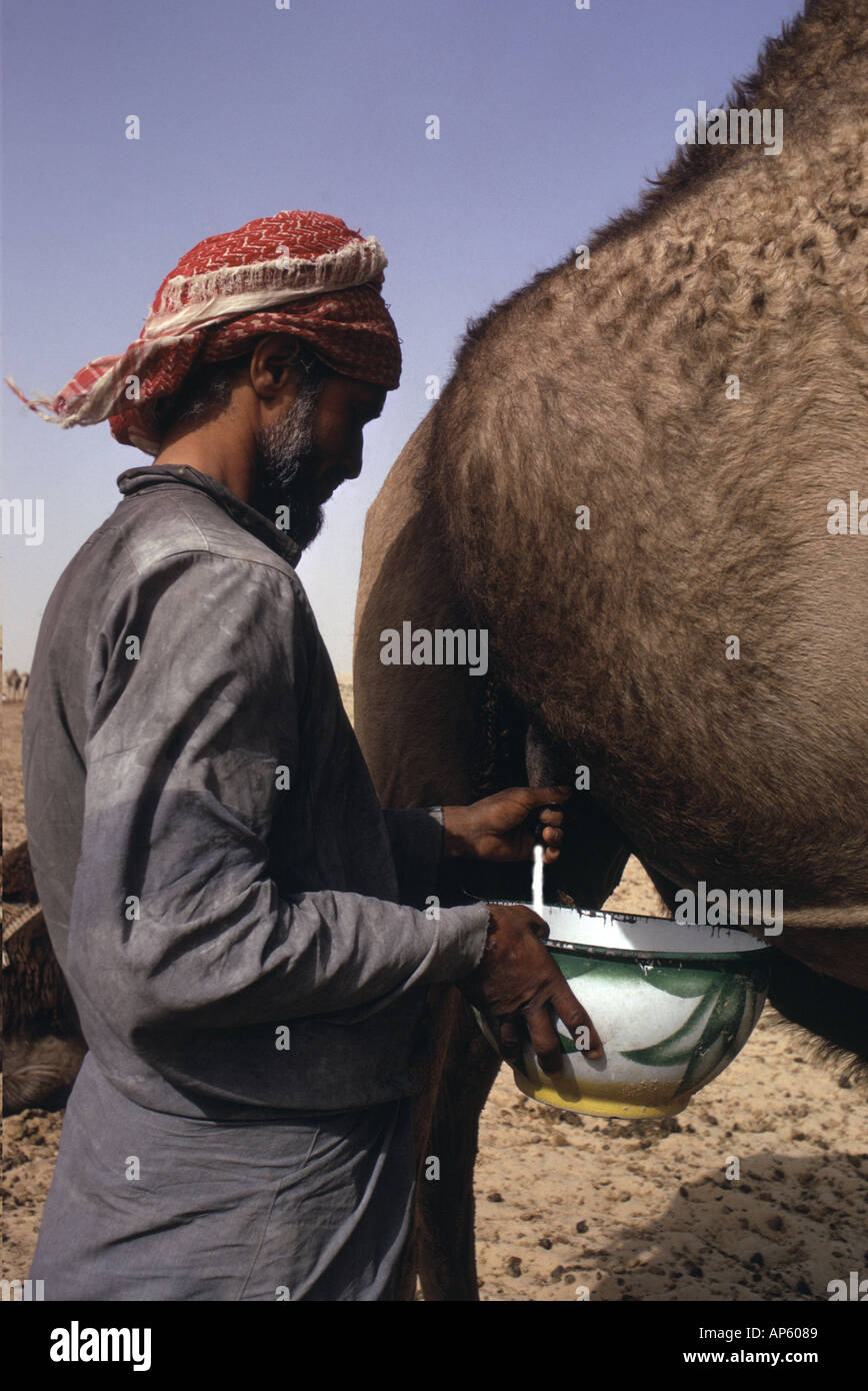 Saudi Arabia, Empty Quarter. Al Murrah Bedouin milking his favourite milk camel. They use different camels for riding - Stock Image