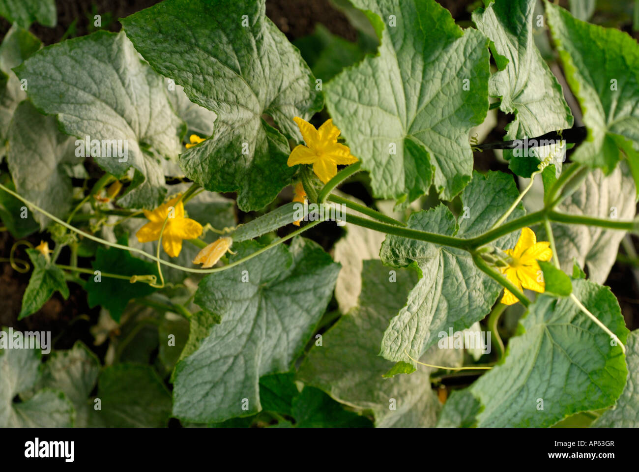 organic cucumber plant leaves and flowers Stock Photo: 15687478 - Alamy