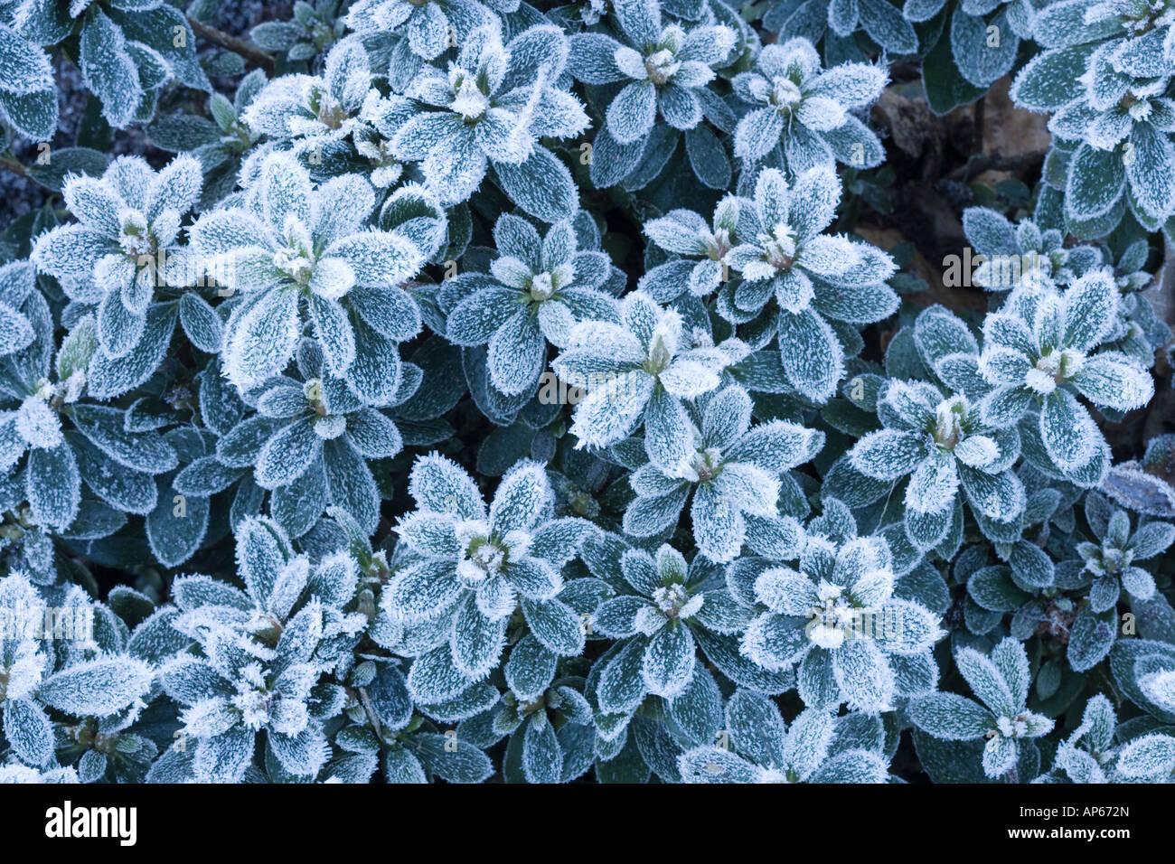 Frost on Azalea, UK garden. - Stock Image