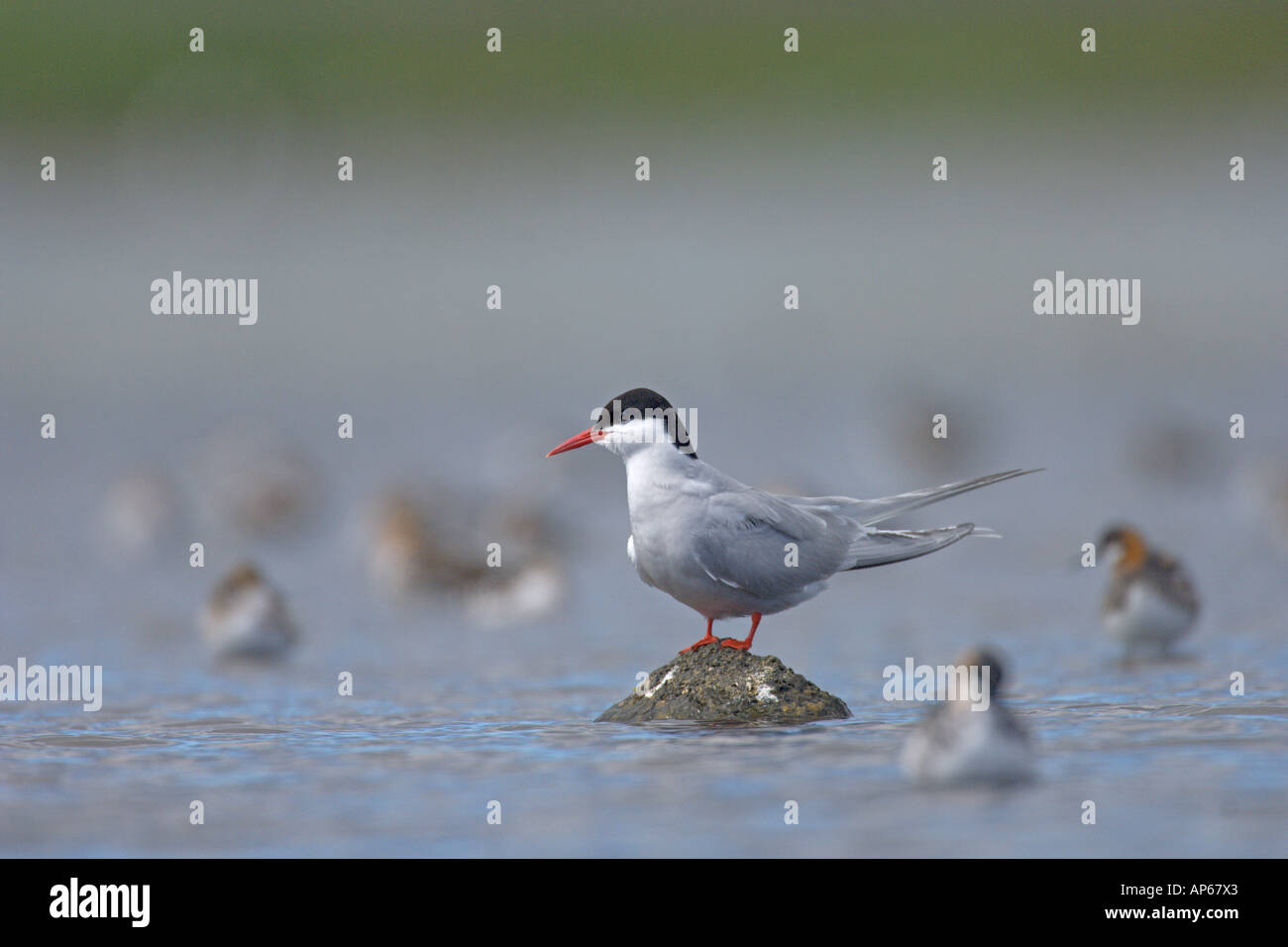 Arctic tern Sterna paradisaea summer adult amongst red necked phalaropes Phalaropus lobatus Rif Iceland July - Stock Image