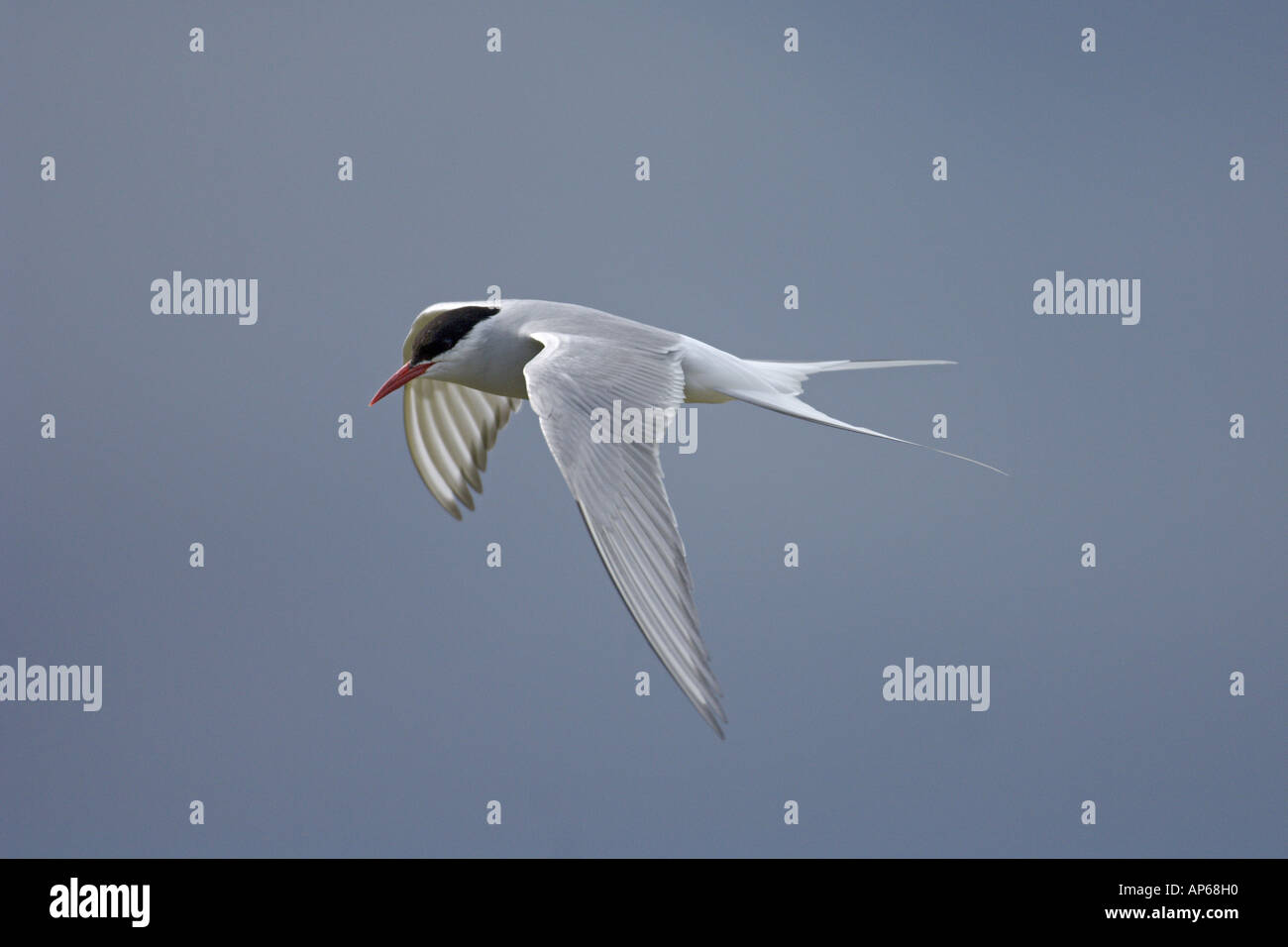 Arctic tern Sterna paradisaea summer adult in flight Rif Iceland July - Stock Image