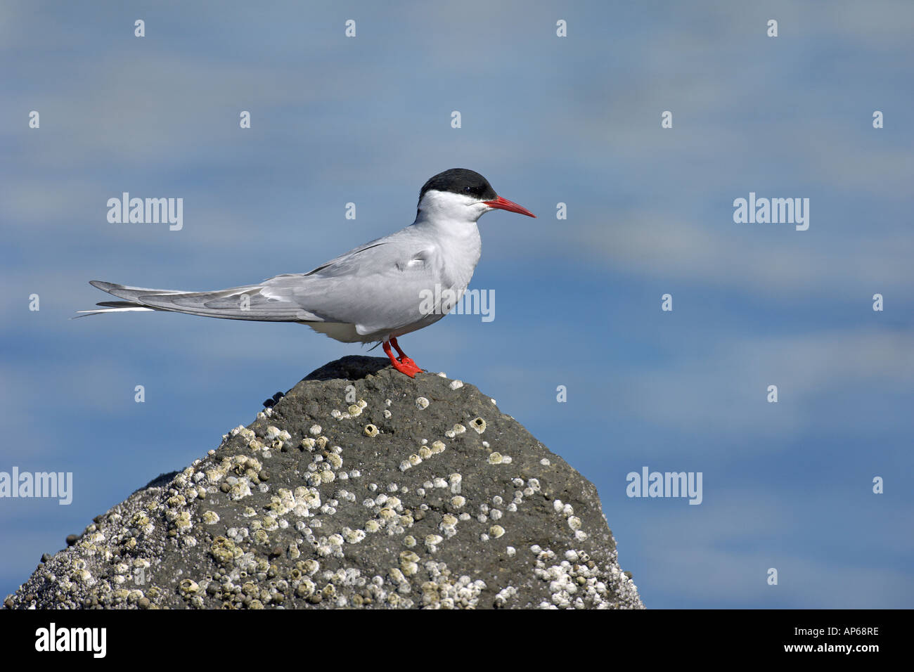 Arctic tern Sterna paradisaea summer adult Iceland July - Stock Image