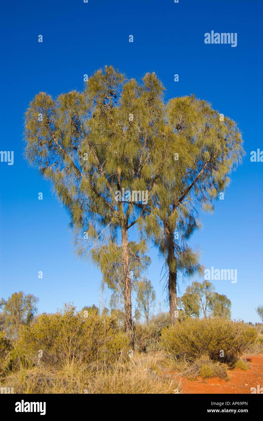 Desert Oak - Stock Image