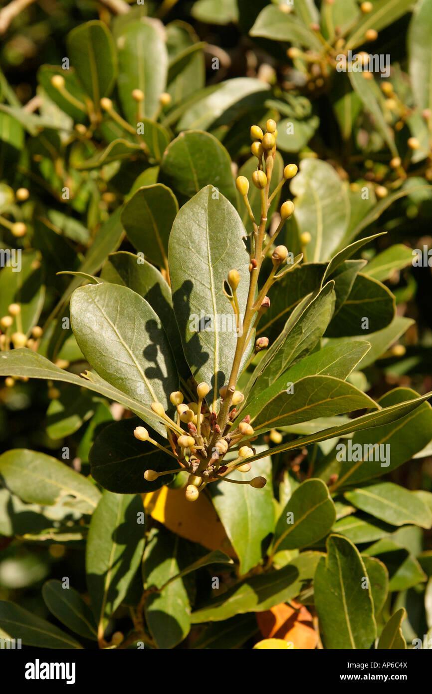 Israel Jerusalem Laurel tree Laurus Nobilis by the British War Cemetery on Mount Scopus - Stock Image