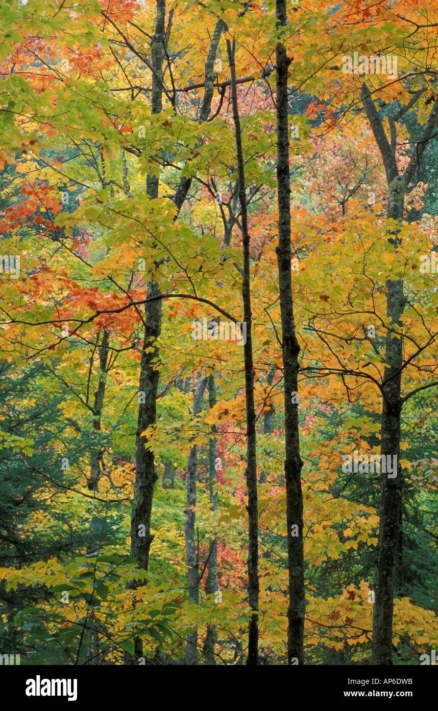 Hancock, VT A northern hardwood forest in fall. Texas Falls trail, Green Mountain National Forest. - Stock Image