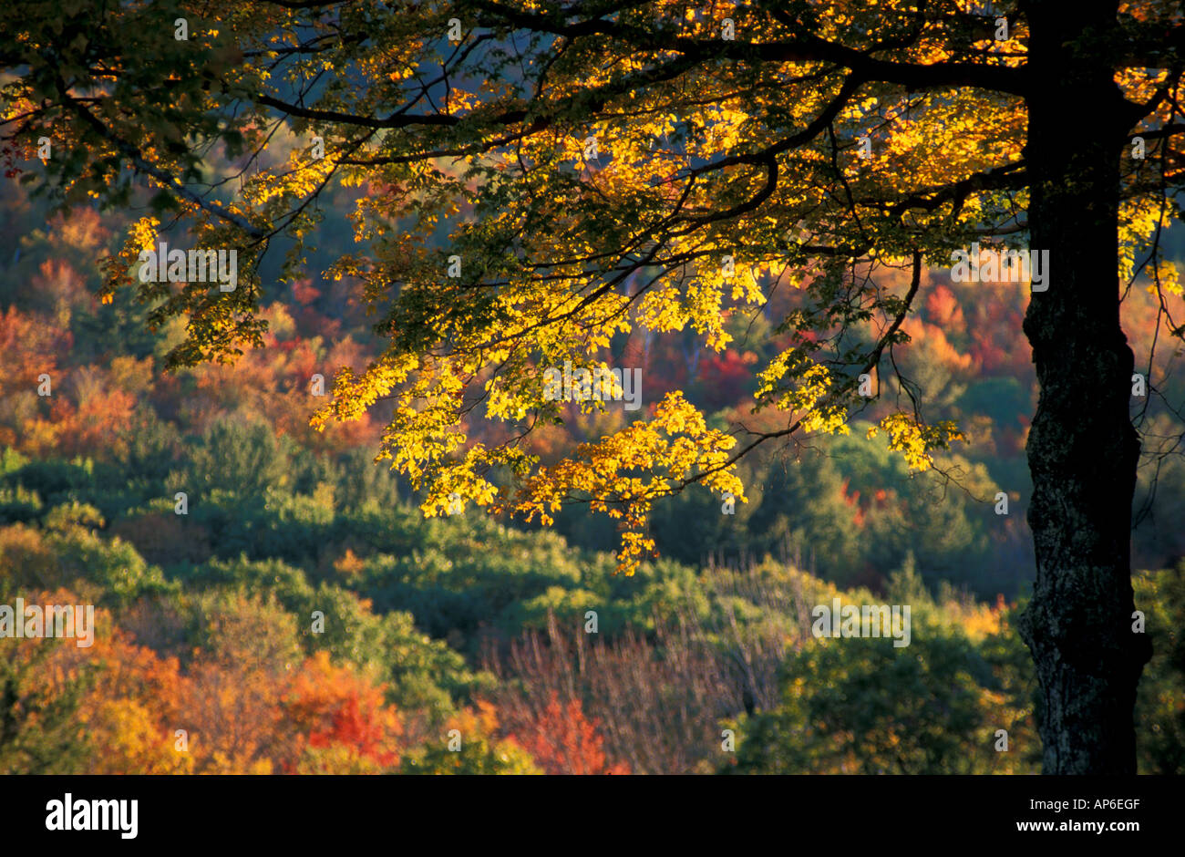 The yellow leaves of a sugar maple frame a hill with fall colors in the Green Mountains in southern Vermont. - Stock Image