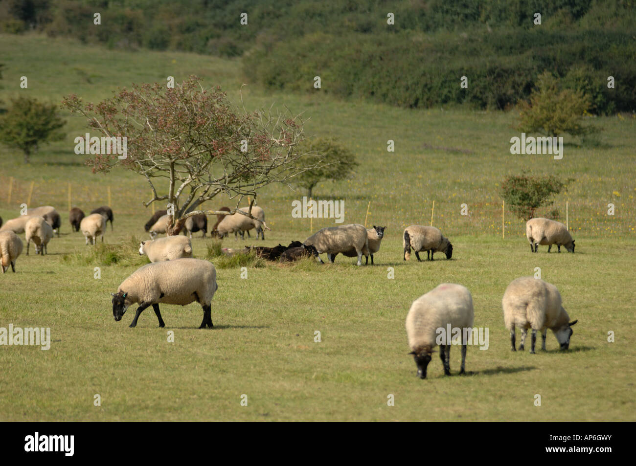 Rough Fell sheep at Martin Down National Nature Reserve Hampshire England Stock Photo