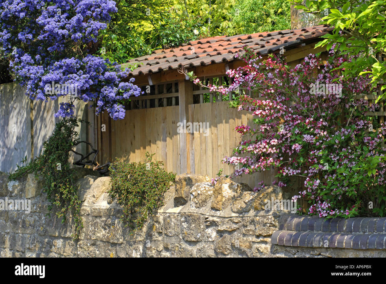 Plants Shrubs Ceanothus Californian Lilac Stock Photos Plants