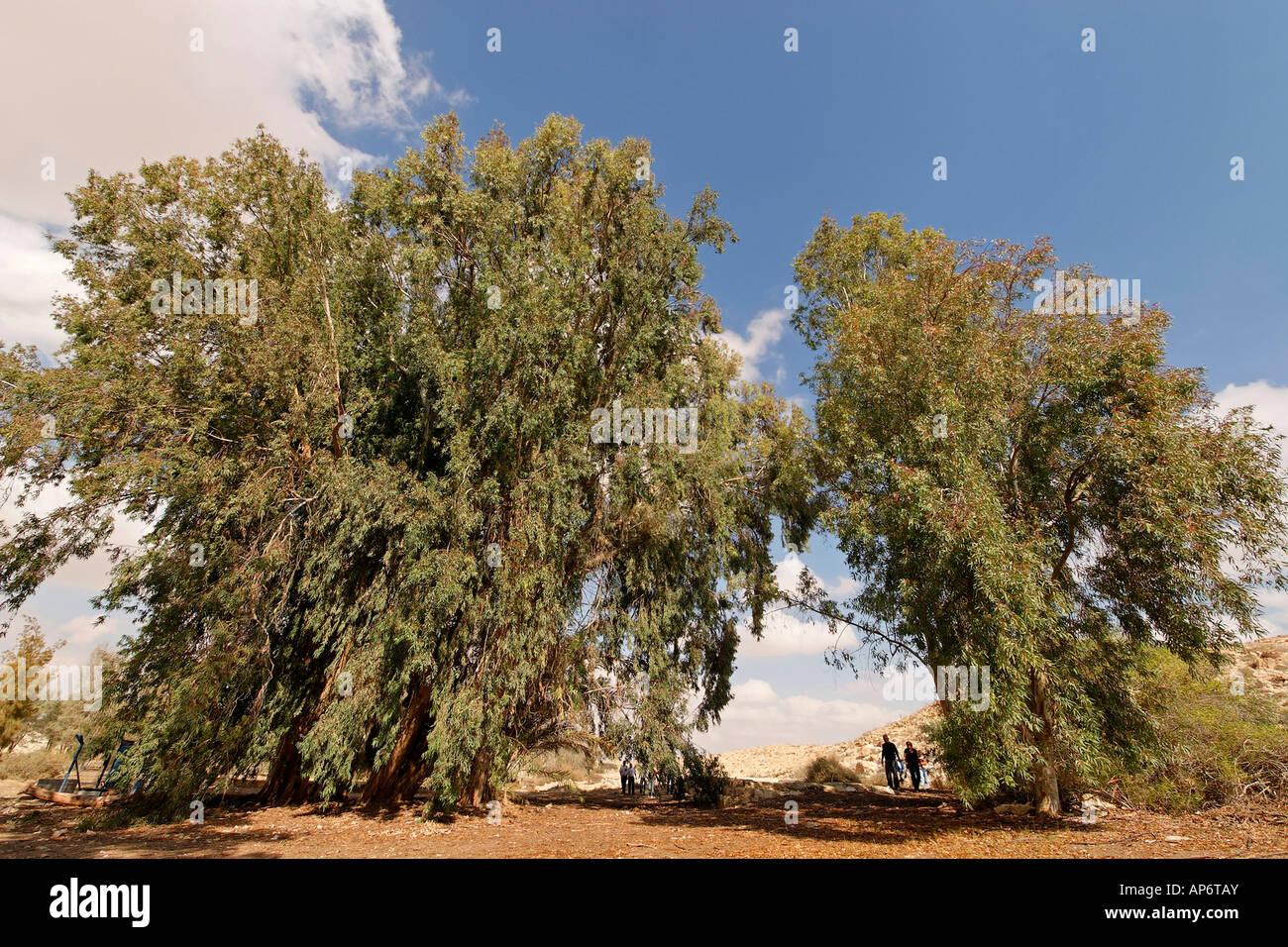 Israel the Negev Desert Eucalyptus tree in Be erotaim - Stock Image