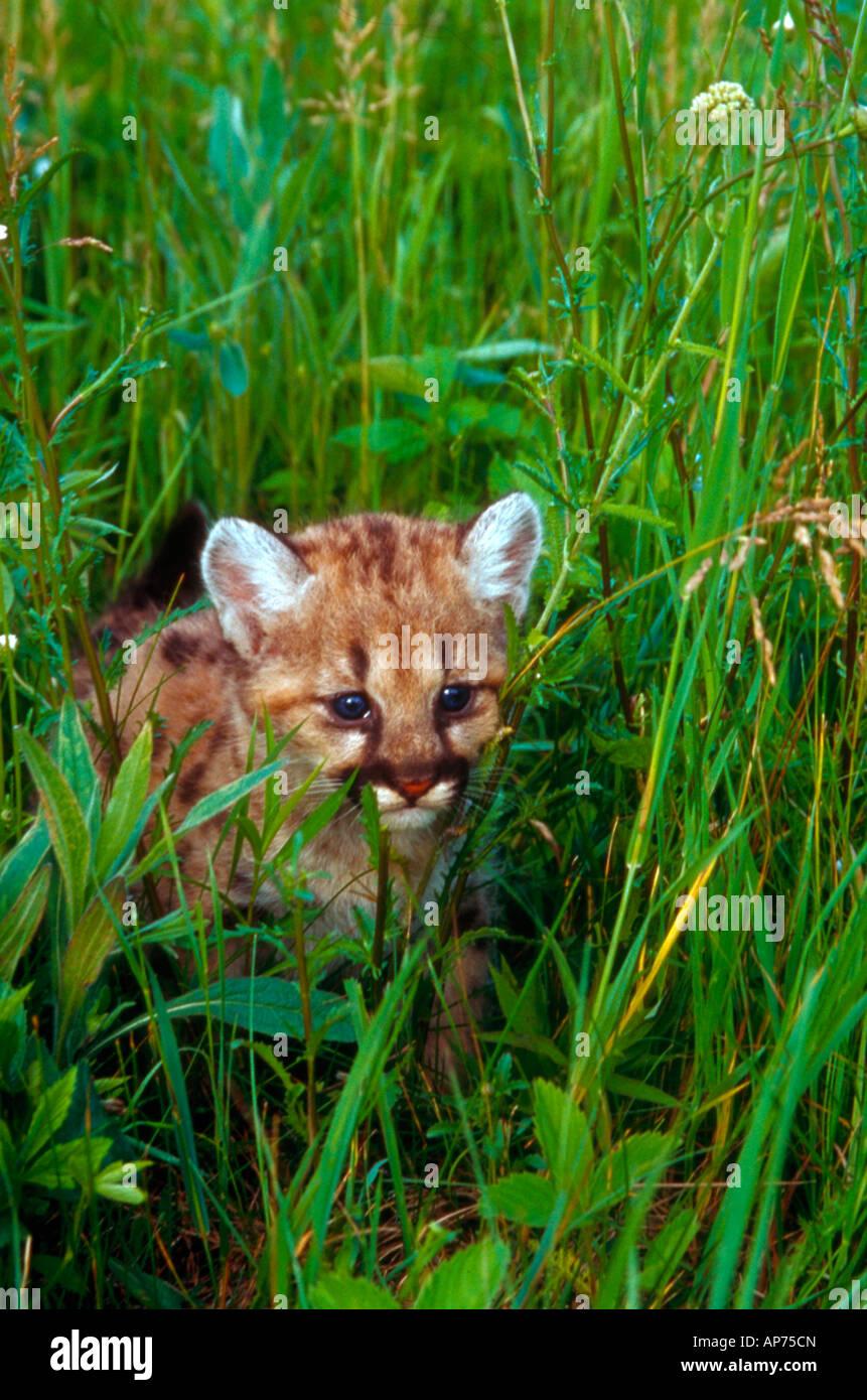 Four 4 week old mountain lion cub walking through grass - Stock Image