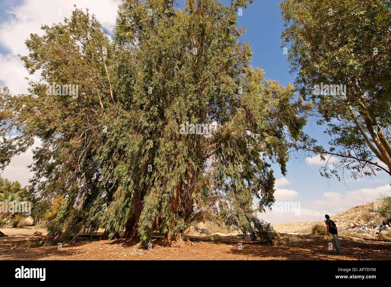 Israel the Negev Desert Eucalyptus tree in Be erotaim Stock Photo