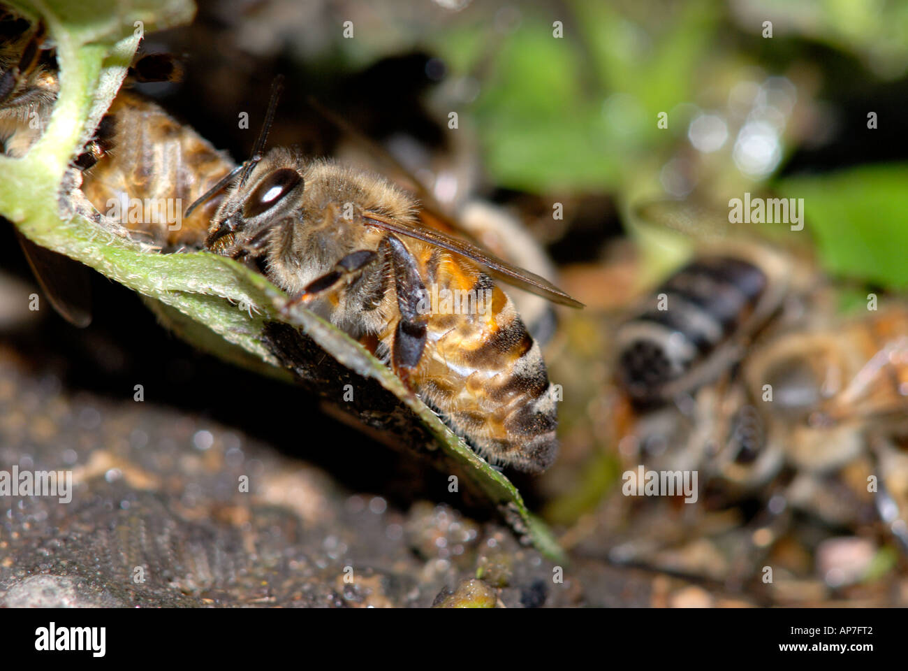 Honey Bee, Apis Mellifera getting a drink at a water hole. Honey bees drink a lot of water. - Stock Image