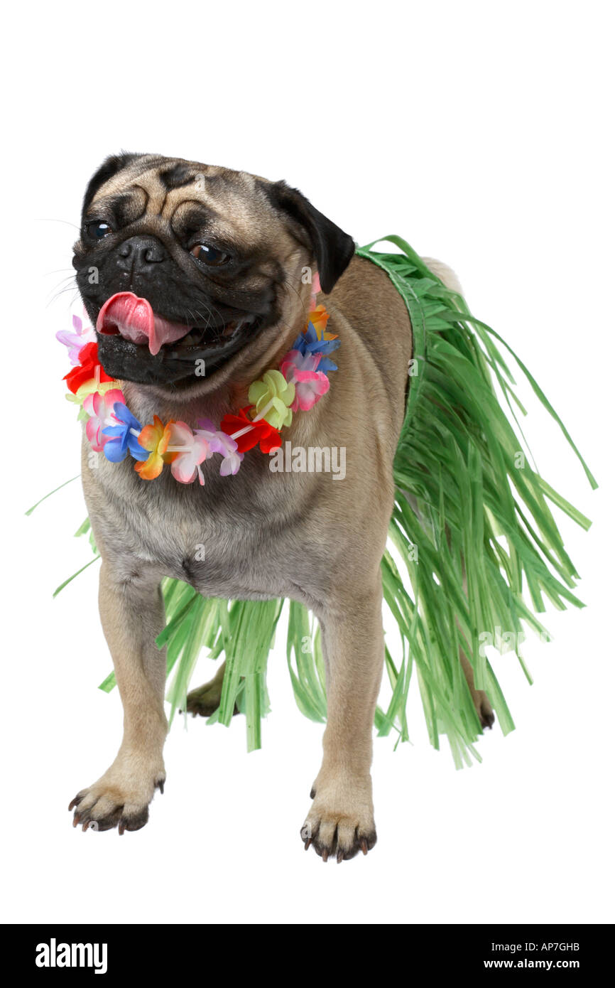 Pug dog with grass skirt and lei - Stock Image