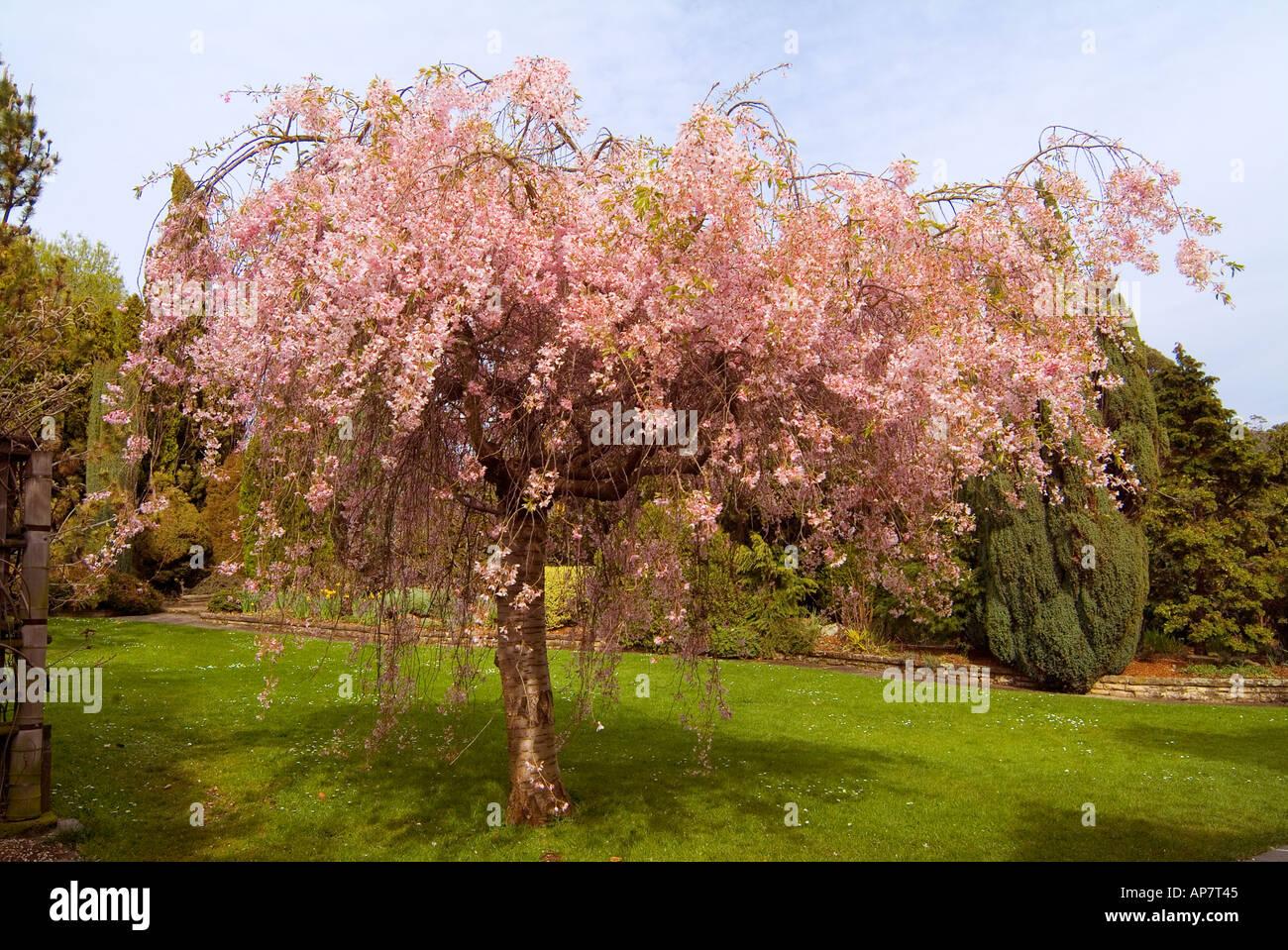Japanese Weeping Cherry Tree Pendula Rosea Stock Photo 5127236