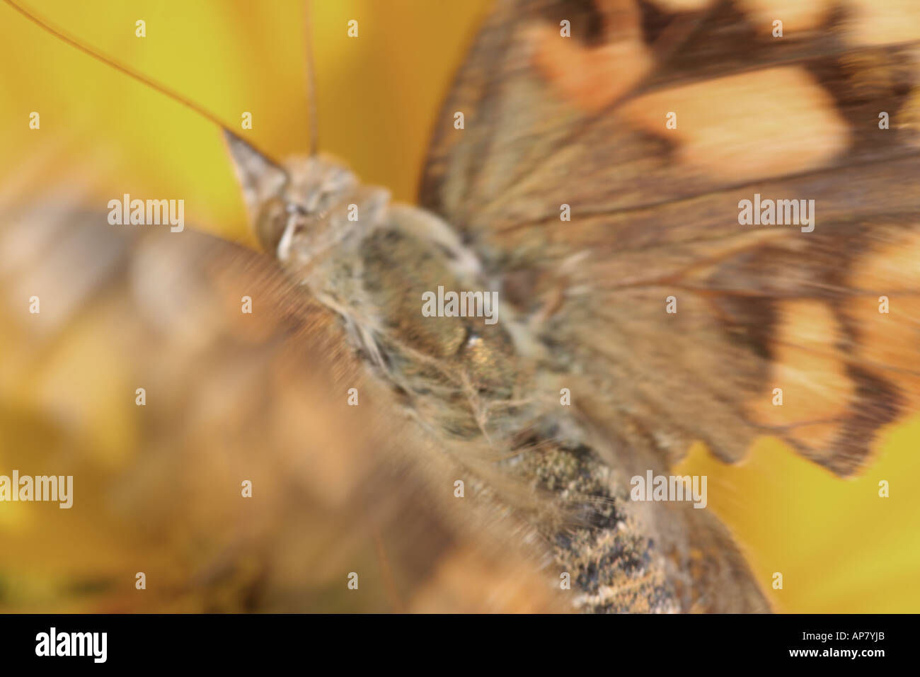 Illinois Butterfly Stock Photos & Illinois Butterfly Stock Images ...