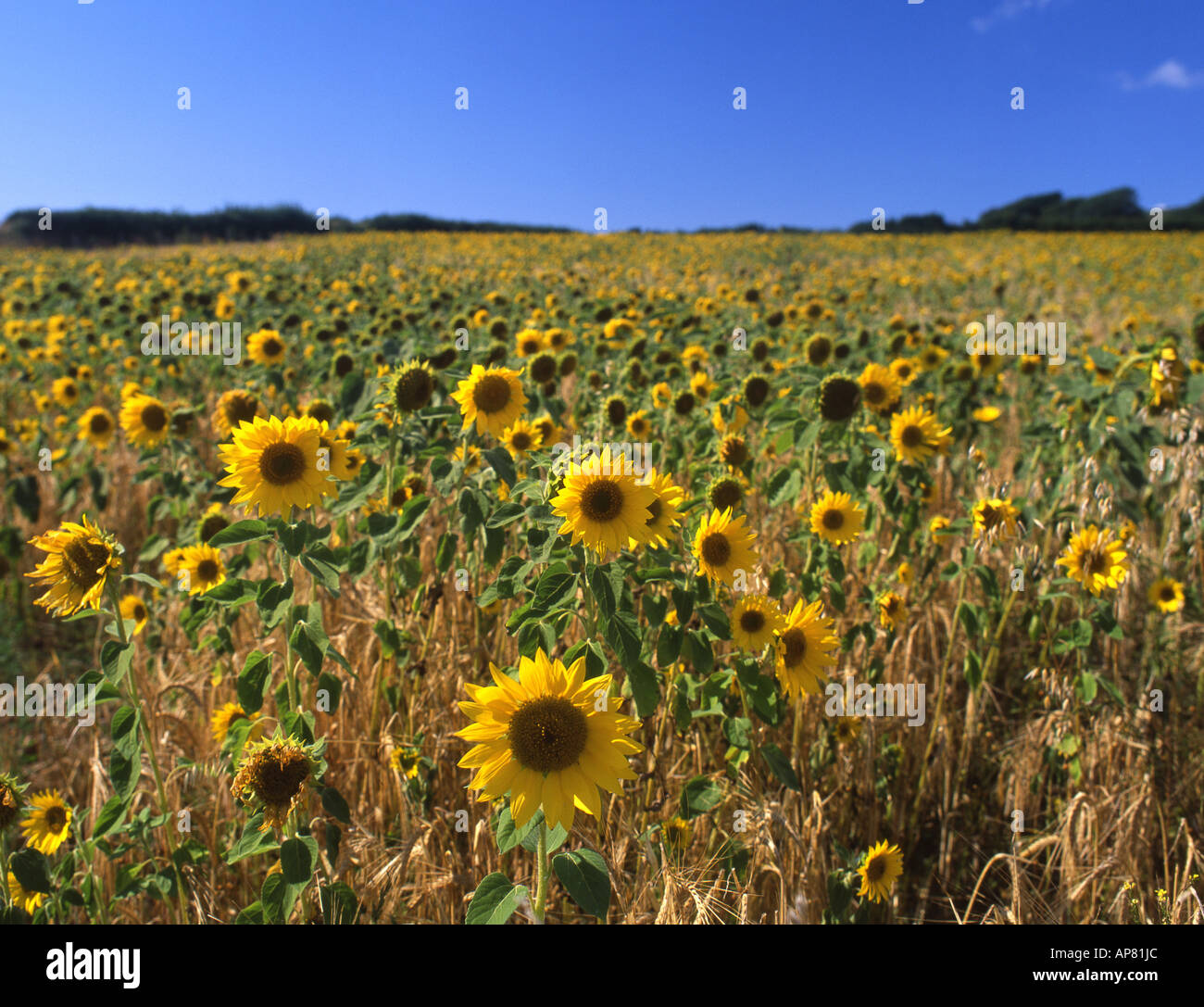 Field of sunflowers Gower Peninsula South Wales UK - Stock Image
